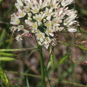Allium-canadense