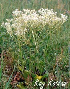 Arnoglossum-plantagineum