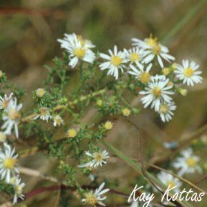 Aster-ericoides