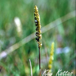 Koeleria-macrantha